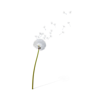 Dandelion Being Blown PNG & PSD Images