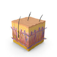 Skin Section PNG & PSD Images