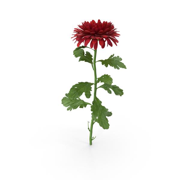 Chrysanthemum PNG & PSD Images