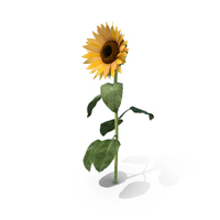 Sunflower PNG & PSD Images