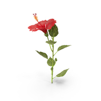 Hibiscus PNG & PSD Images