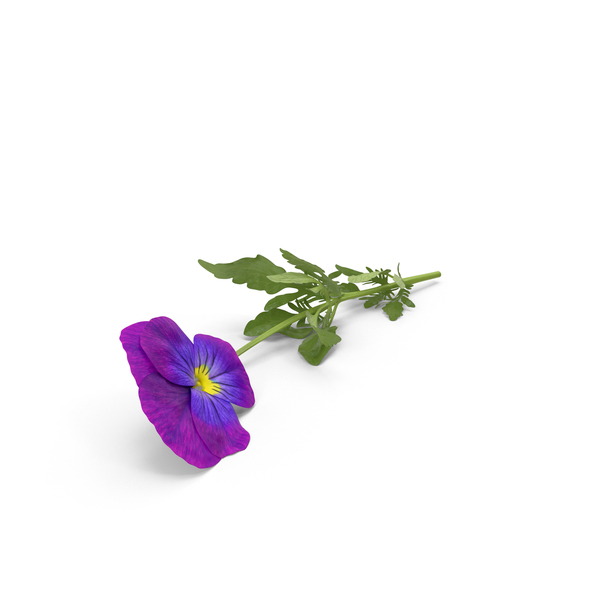 Pansy PNG & PSD Images