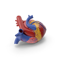 Anatomy Heart Medical Plastic Model PNG & PSD Images