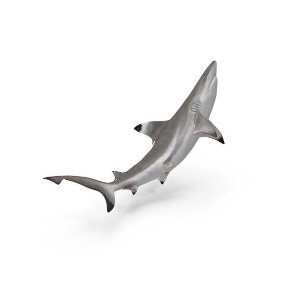 Blacktip Reef Shark Object