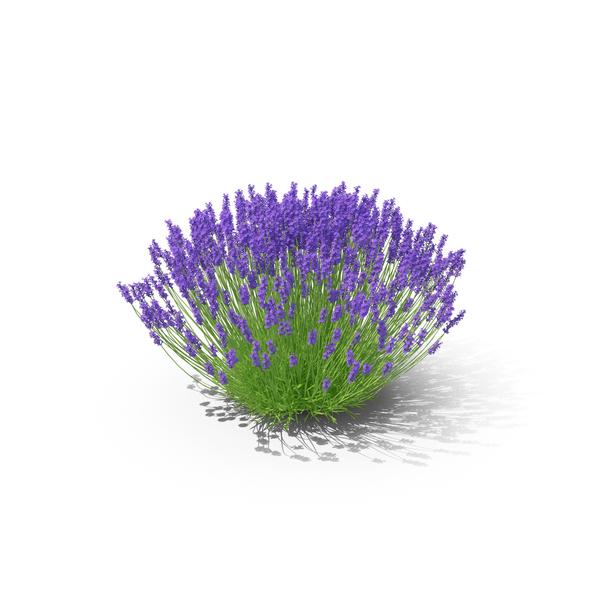 Lavender Bush PNG & PSD Images
