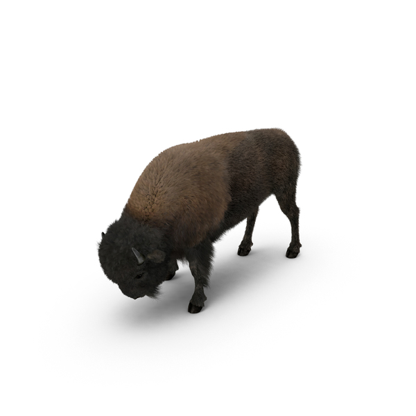 American Bison Grazing Object
