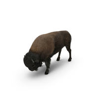 American Bison Grazing PNG & PSD Images