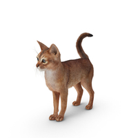 Abyssinian Cat PNG & PSD Images