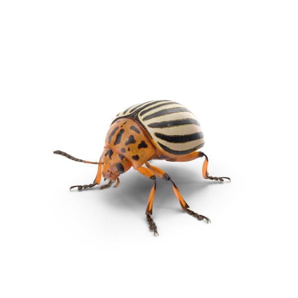 Colorado Potato Beetle Object