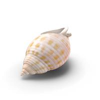 Scotch Bonnet Shell PNG & PSD Images