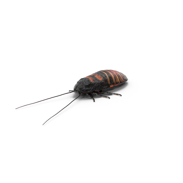 Hissing Cockroach Object