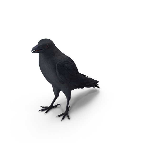 Crow Standing Pose PNG & PSD Images