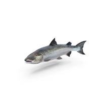 Atlantic Salmon Fish PNG & PSD Images
