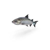 Atlantic Salmon PNG & PSD Images