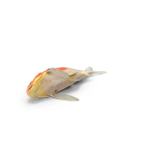 Koi Fish PNG & PSD Images