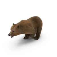 Brown Bear PNG & PSD Images