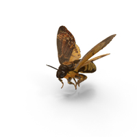 Deaths Head Hawkmoth PNG & PSD Images