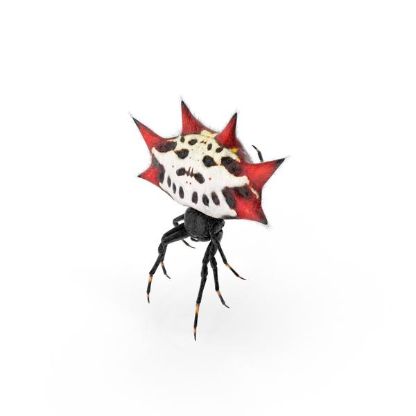 Spiny Orb Weaver Spider PNG & PSD Images