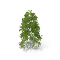 Birch Tree PNG & PSD Images