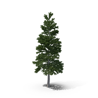 Pine PNG & PSD Images