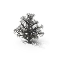 Bare Oak Tree PNG & PSD Images