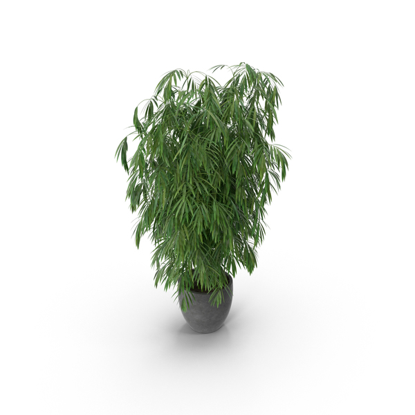 Bamboo Plant PNG & PSD Images