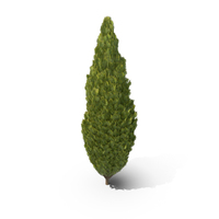 Cupressus Tree Thick PNG & PSD Images
