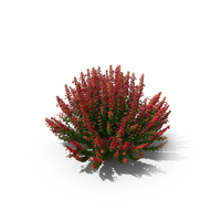 Barberry Bush With Red PNG & PSD Images