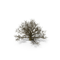 Old White Oak Tree PNG & PSD Images