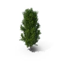 Poplar Tree PNG & PSD Images
