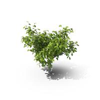 Lemon Tree PNG & PSD Images