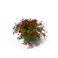 Rose Bush PNG & PSD Images