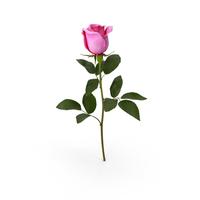 Pink Rose PNG & PSD Images