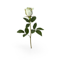 White Rose PNG & PSD Images