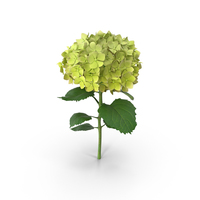 Hydrangea PNG & PSD Images