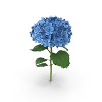 Blue Hydrangea PNG & PSD Images