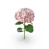 Pink Hydrangea PNG & PSD Images