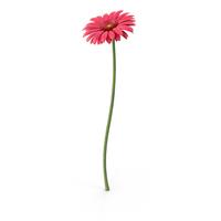 Pink Gerbera PNG & PSD Images