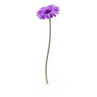 Gerbera  Purple PNG & PSD Images