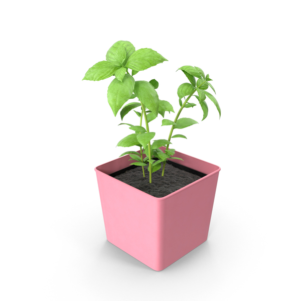 Potted Basil PNG & PSD Images