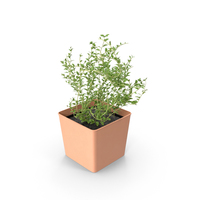 Potted Thyme PNG & PSD Images