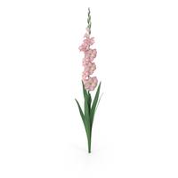 Gladiolus PNG & PSD Images