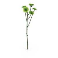 Santini Chrysanthemum PNG & PSD Images