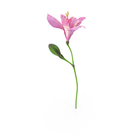 Peruvian Lily PNG & PSD Images