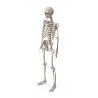 Male Skeleton PNG & PSD Images