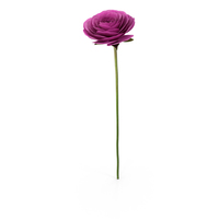 Persian Buttercup PNG & PSD Images