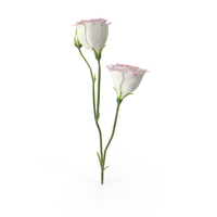 Eustoma White Pink PNG & PSD Images