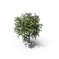 Lemon Tree without Lemons PNG & PSD Images