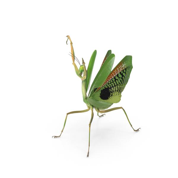 Praying Mantis PNG & PSD Images
