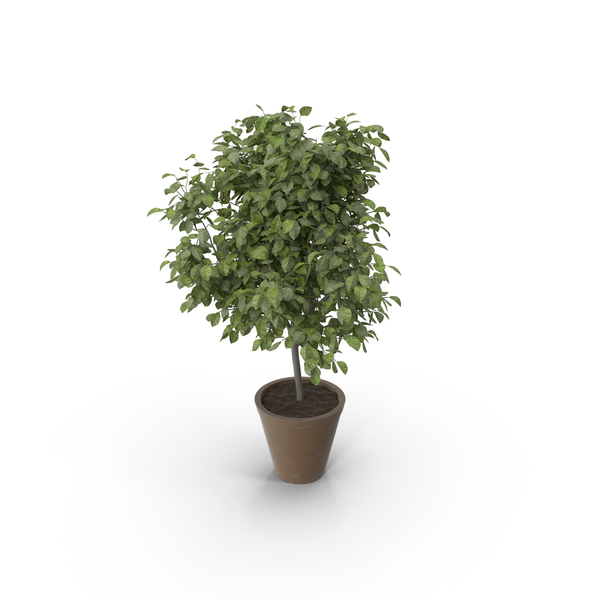 Potted Lemon Tree PNG & PSD Images